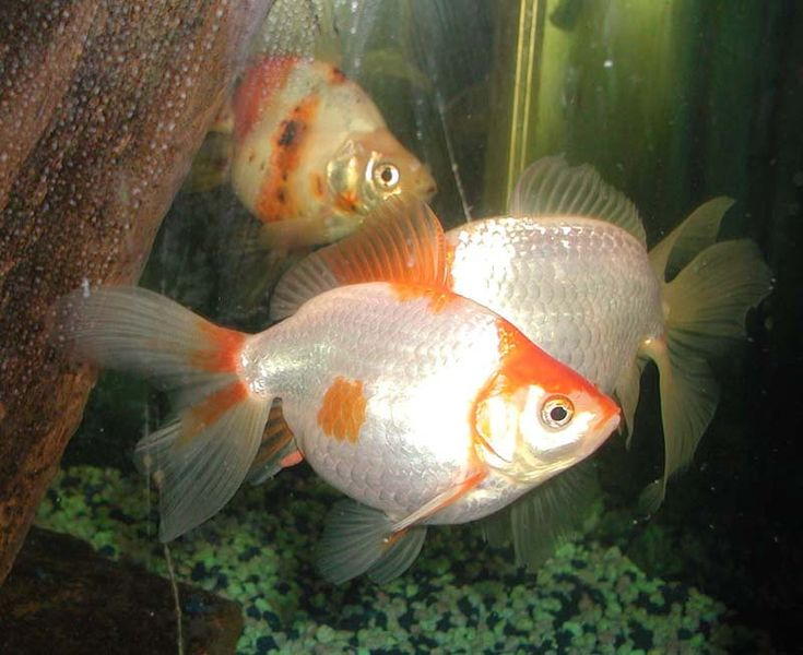 Why Your Goldfish Is More Attentive ThanYou